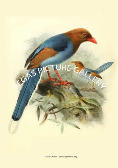 Fine art print of the CISSA ORNATA - THE CEYLONESE JAY by Captain W Vincent Legge (1880)